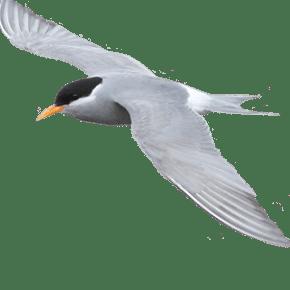 Black fronted tern - tarapiroe