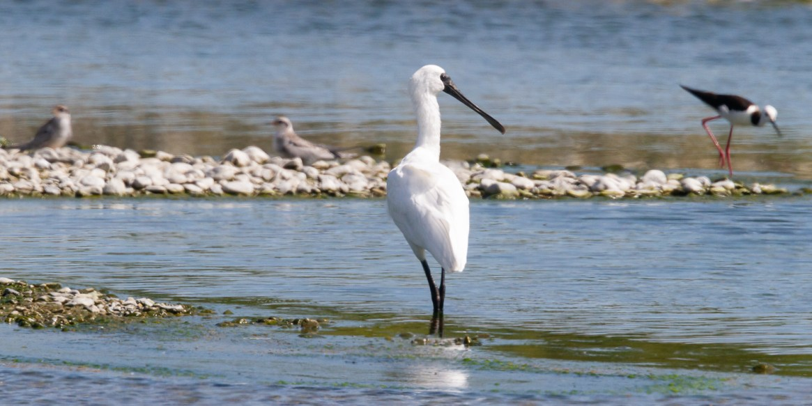 A spoonbill joins a pied stilt and a couple of juvenile terns around a remnant pool in the drying Ashley-Rakahuri river (Photo – Grant Davey)