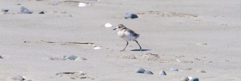 Banded dotterel chick on the beach – October 2019