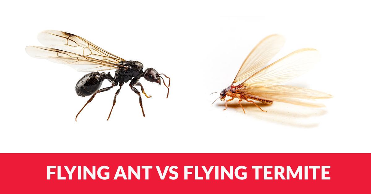 Are These Flying Ants or Flying Termites  Arrow Termite