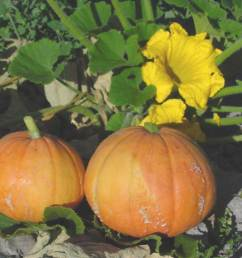 the squashes including pumpkins and gourds are a crop native to the americas that require a pollinator squashes are big business a half billion dollar  [ 1472 x 1104 Pixel ]