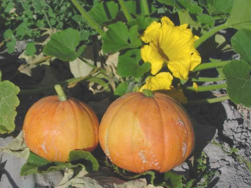 small resolution of the squashes including pumpkins and gourds are a crop native to the americas that require a pollinator squashes are big business a half billion dollar