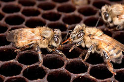 Two honey bees on a comb.