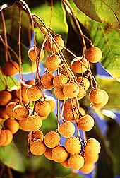 Longans, Dimocarpus longan.