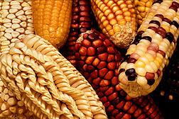 Latin American maize