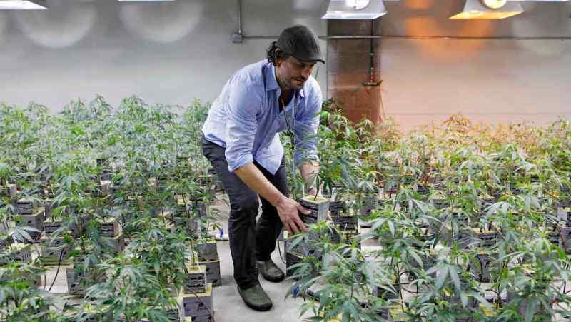 Un productor de marihuana medicinal en Denver, Colorado, el 10 de febrero de 2012.