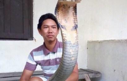 Menghebohkan Ular King Kobra Raksasa, Aslikah atau Palsukah?