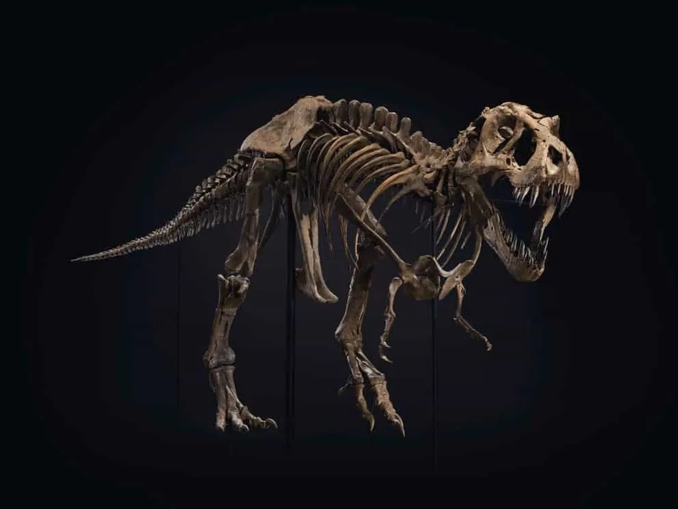 A T. rex. skeleton set against a black backdrop
