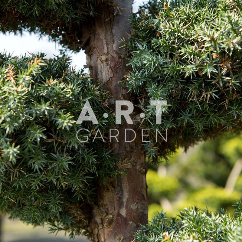 Arbres Nuages Juniperus Blue Alps