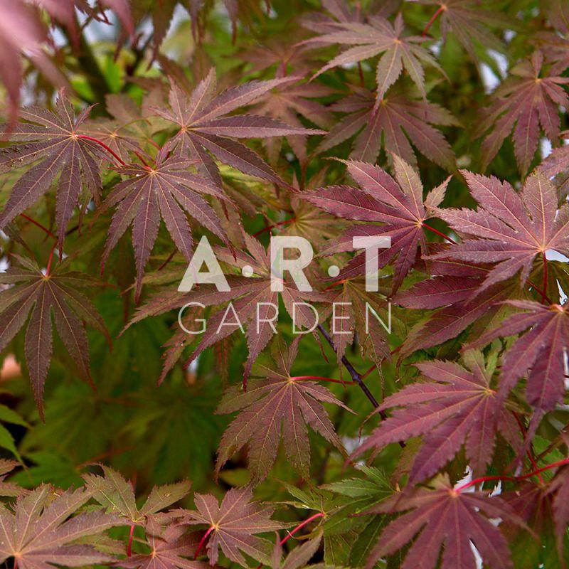 Joli Erable Du Japon Acer Palmatum Ariadne Pour Terrasse