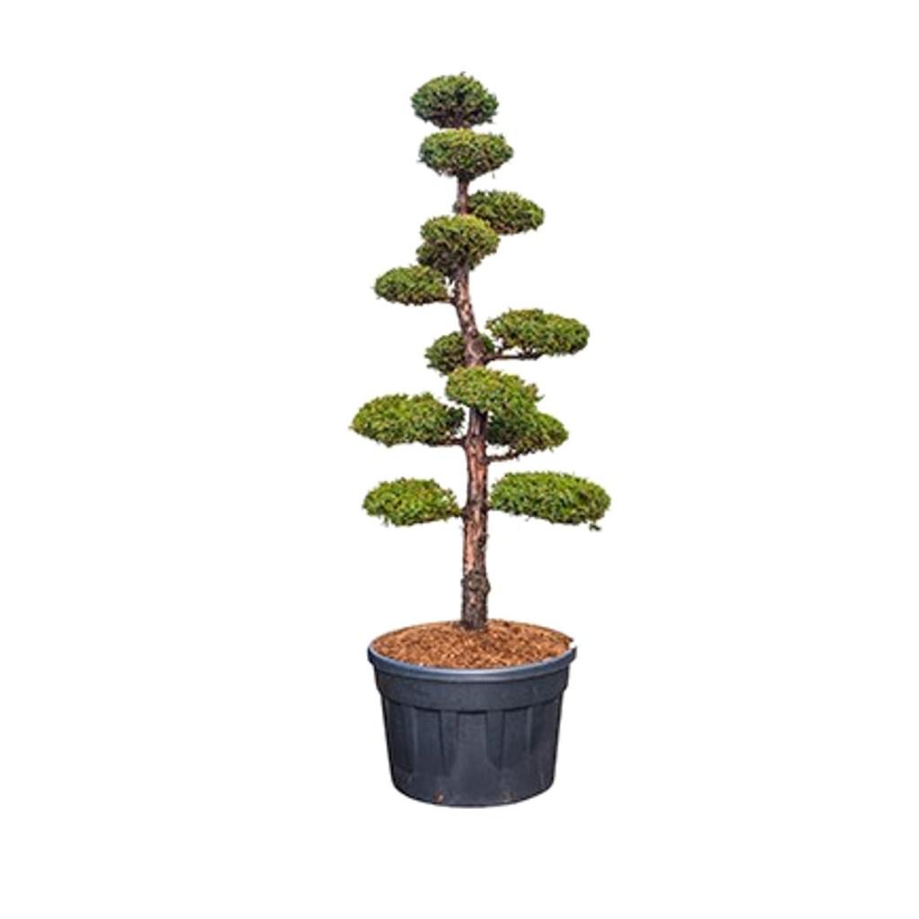 """Vente """"Juniperus Chinensis Monarch"""". Taillé en Bonsaï multiboules avec soin et précision."""