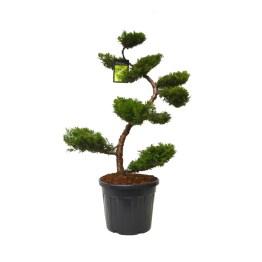 """Vente """"Juniperus Pfitzeriana Aurea"""". Taillé en Bonsaï avec soin et précision."""