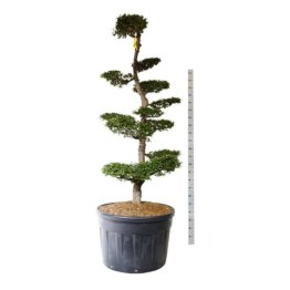 bonsai-nothofagus-antartica