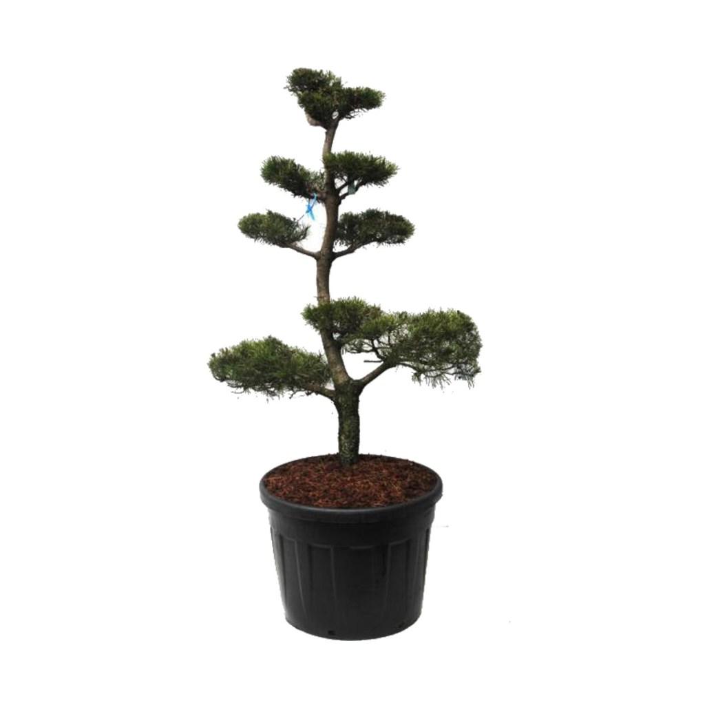 """Vente """"Pinus Contorta"""". Taillé en Bonsaï avec soin et précision."""