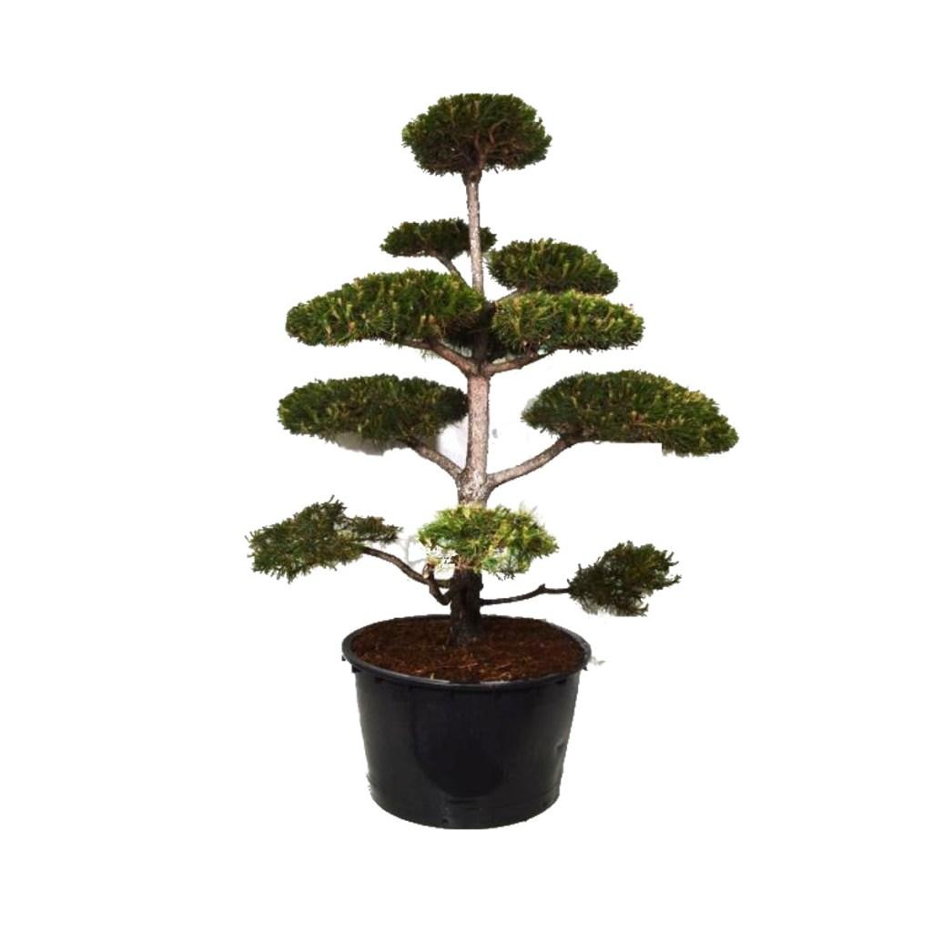 """Vente """"Pinus Nigra"""". Taillé en Bonsaï avec soin et précision."""