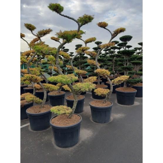 larix-kaemferi-bonsai