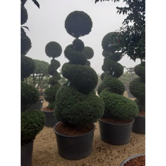 taxus-baccata-spirale-boule-topiaire
