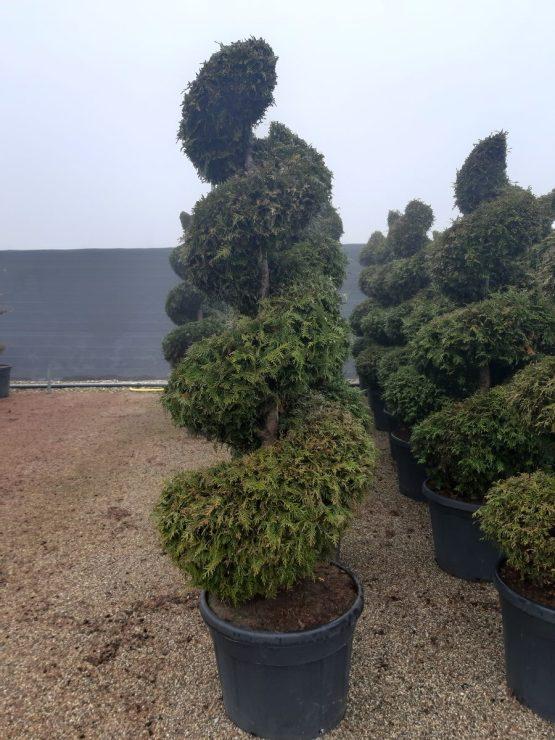 Plante spirale