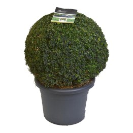 Buis Buxus Sempervirens en boule