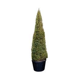Le Taxus Baccata est un conifère au feuillage vert foncé persistant. Il est également connu sous le nom d'If commun.
