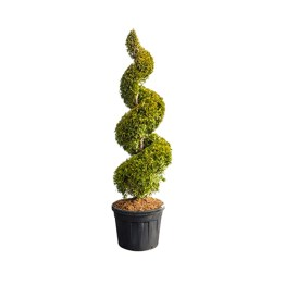 Vente Thuja Yellow Ribbon en spirale