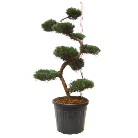 Juniperus grey owl