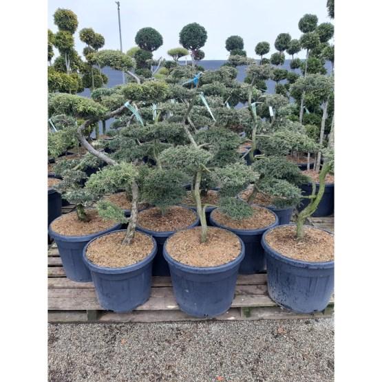 bonsai-juniperus-communis-repanda