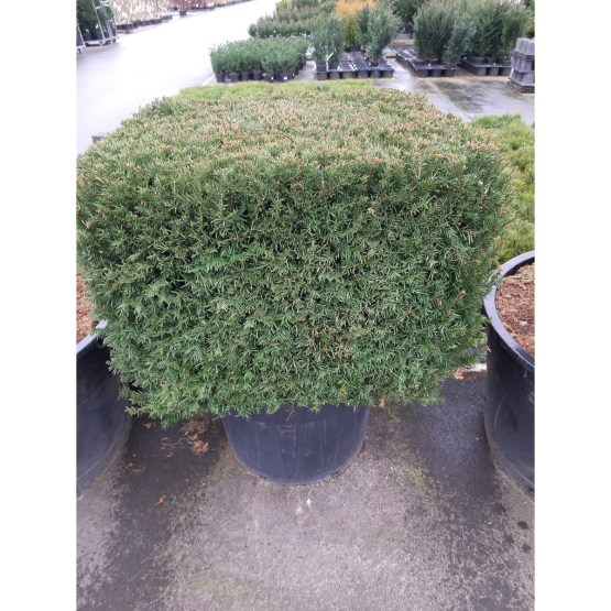 taxus-baccata-cube