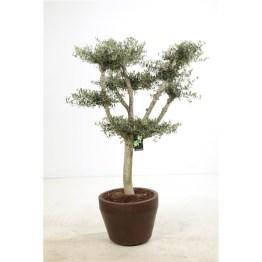 Olea europaea bonsai