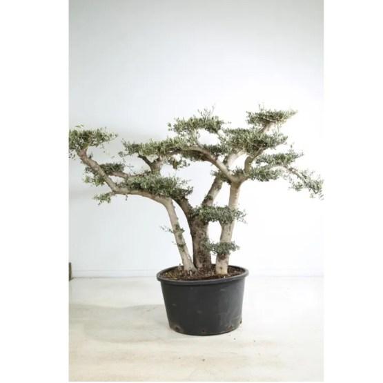 Olivier-bonsai-nuage