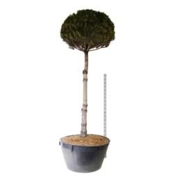 Pinus-nigra-nigra