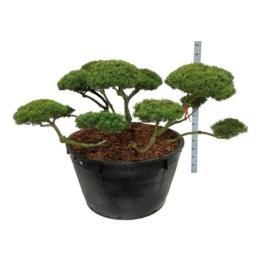 bonsai-pinus-mugo-mugo