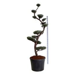 Cupressus ariz. 'Glauca' Bonsai