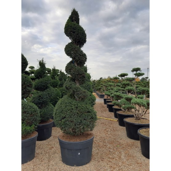 taxus-baccata-spirale