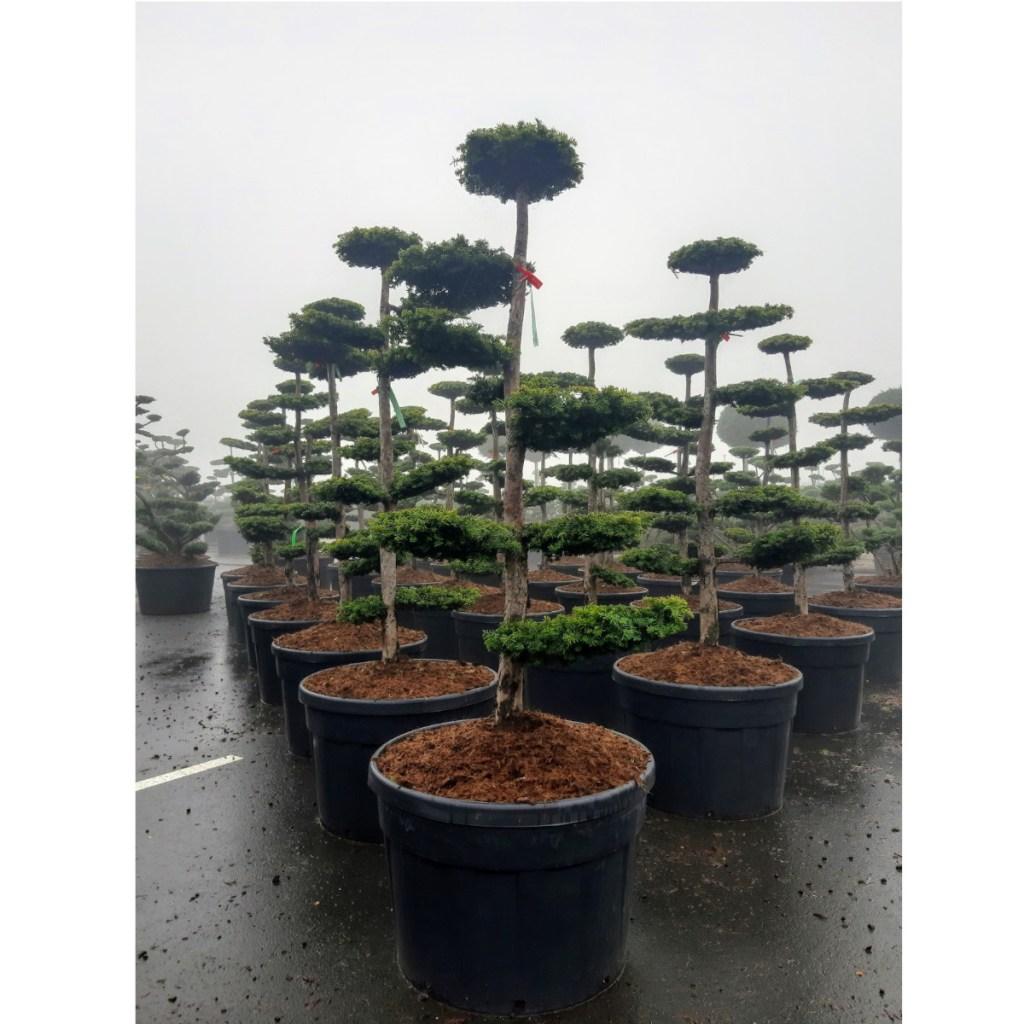 taxus-dovastoniana-bonsai