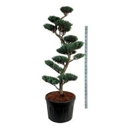 cupressus-arizona-glauca