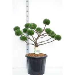 pinus-nigra-brepo