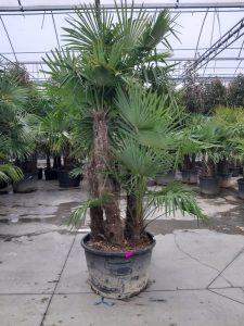 trachycarpus trois troncs