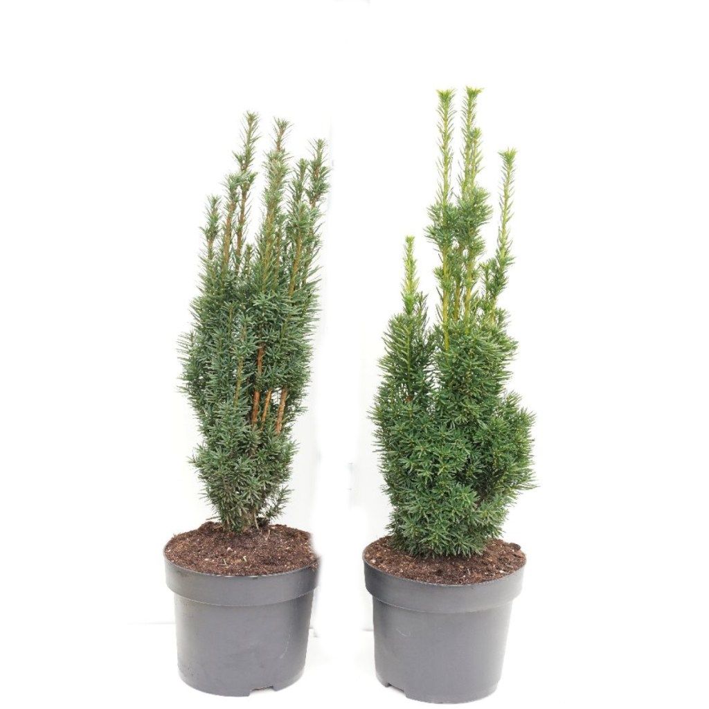 plantes conifères haies