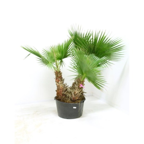 washingtonia-robusta-multi-troncs