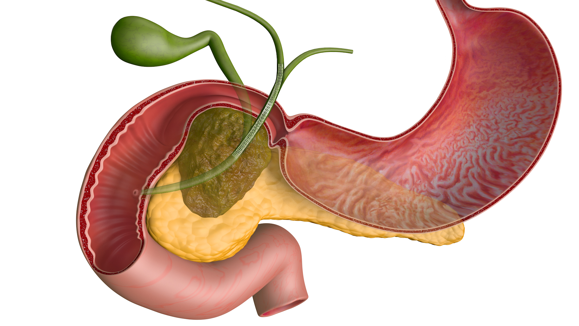 pancreas anatomy diagram trailer hitches location of liver in human body free engine