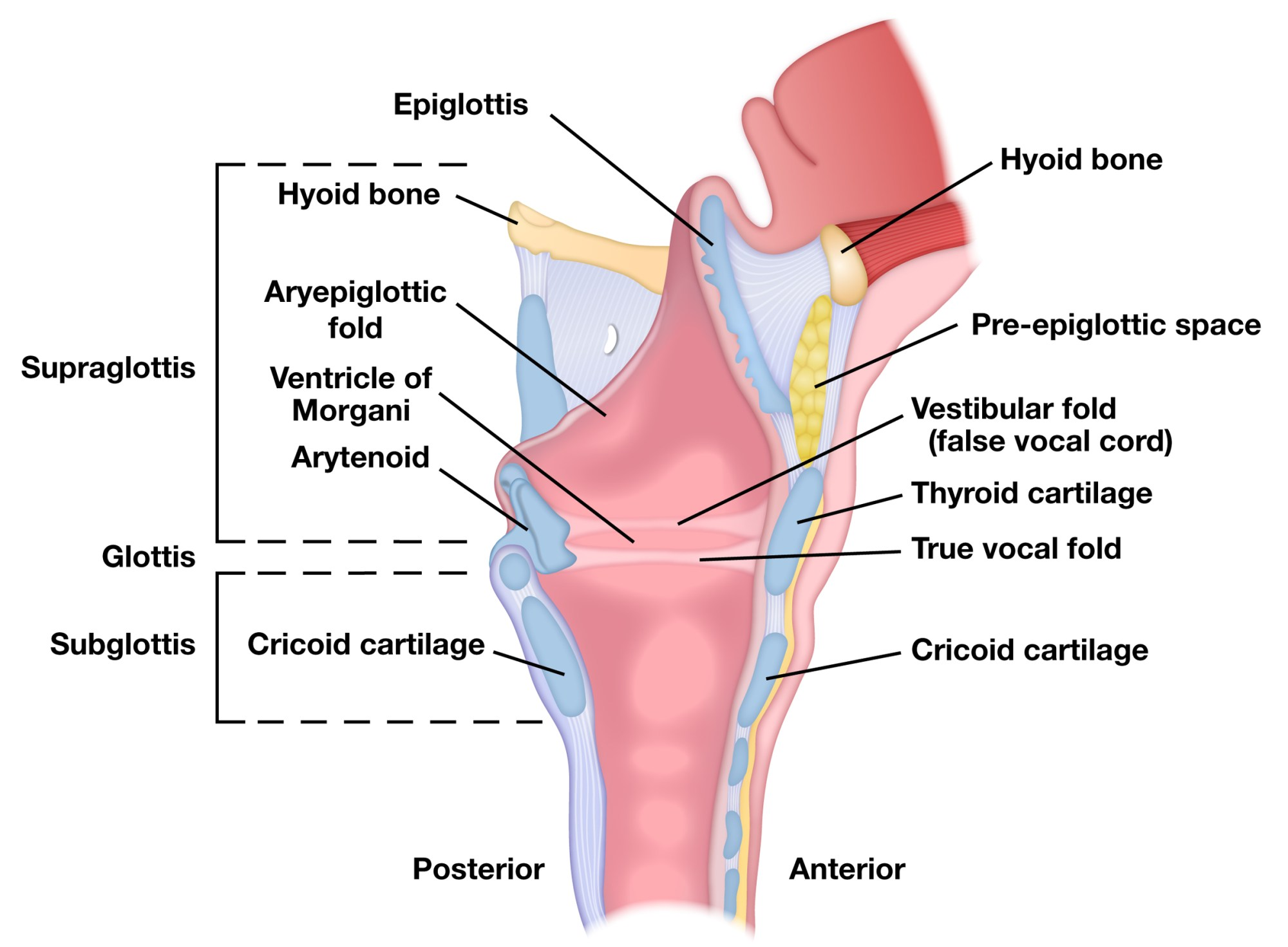 hight resolution of cross section of larynx