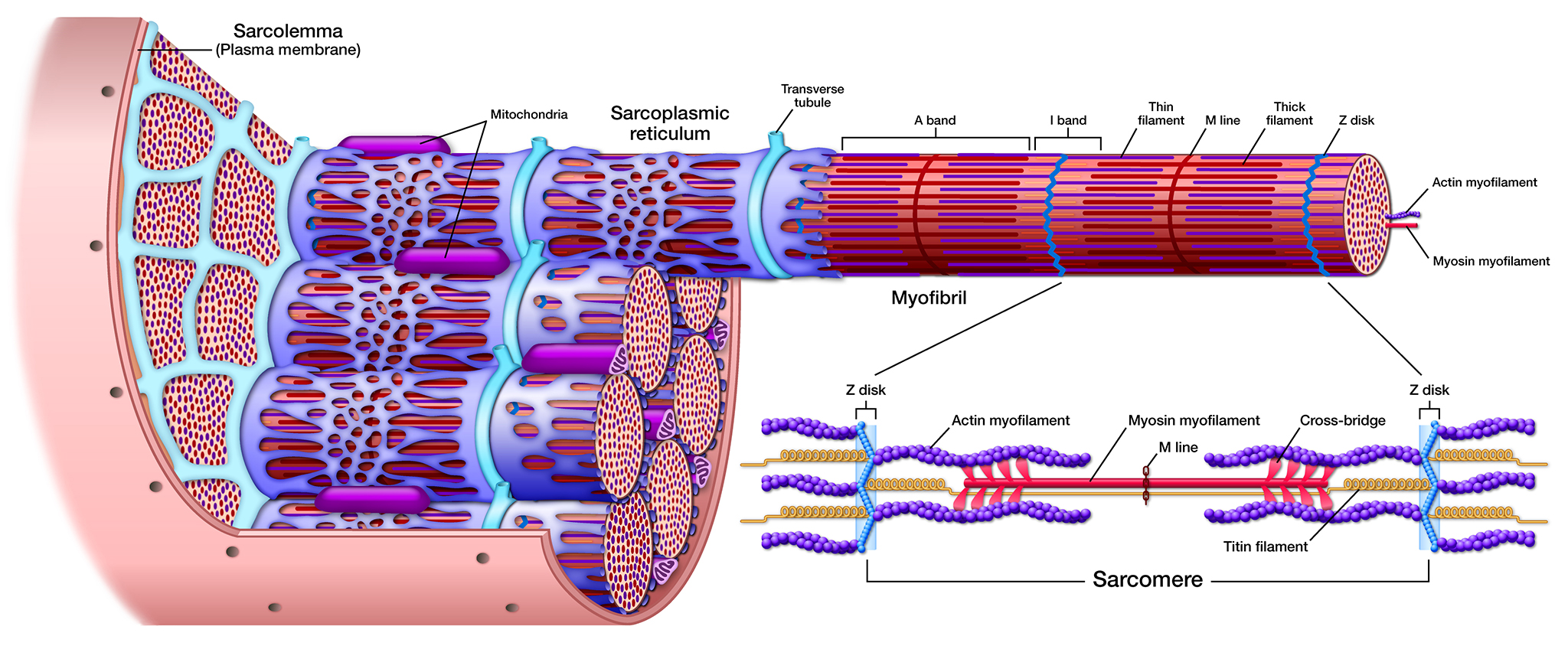 muscle fiber diagram 99 tahoe wiring medical images art and science graphics