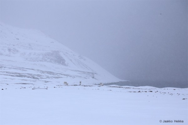 15-04-18: Svalbard reindeer at the mouth of Gipsdalen.