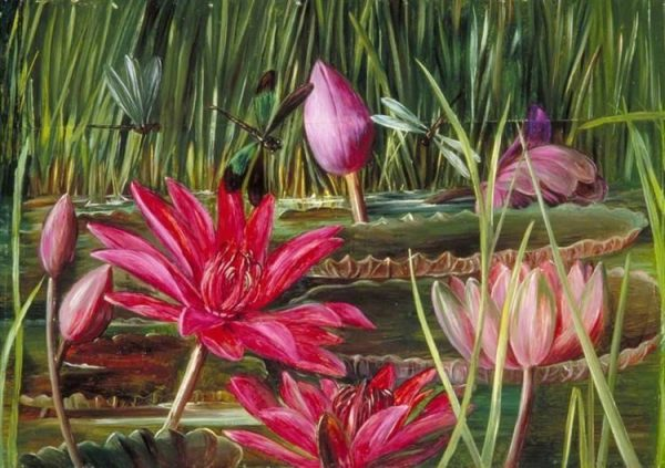 Red Water Lily of Southern India By Marianne North 1878