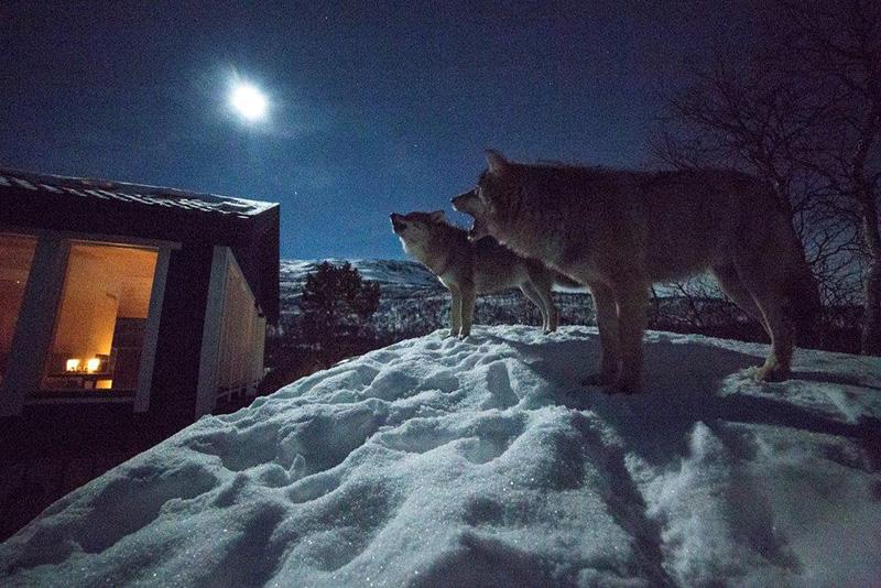 El lobo llama a tu puerta - Arte Animal