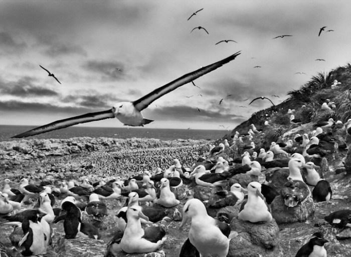 Sebastiao_Salgado_Genesis_albatros