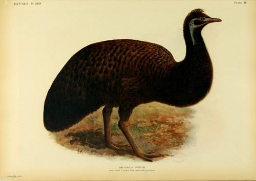 Känguru-Insel-Emu