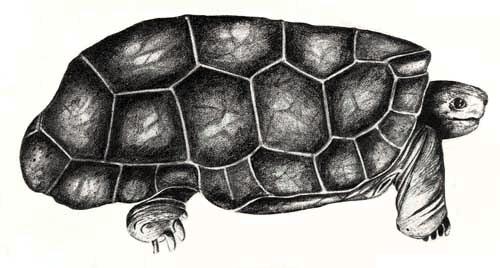 Cylindraspis peltastes Rodrigues-Riesenschildkröte