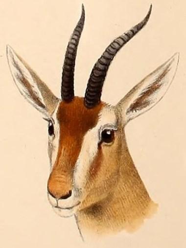 algerische gazelle Eudorcas rufina, Gazella rufina